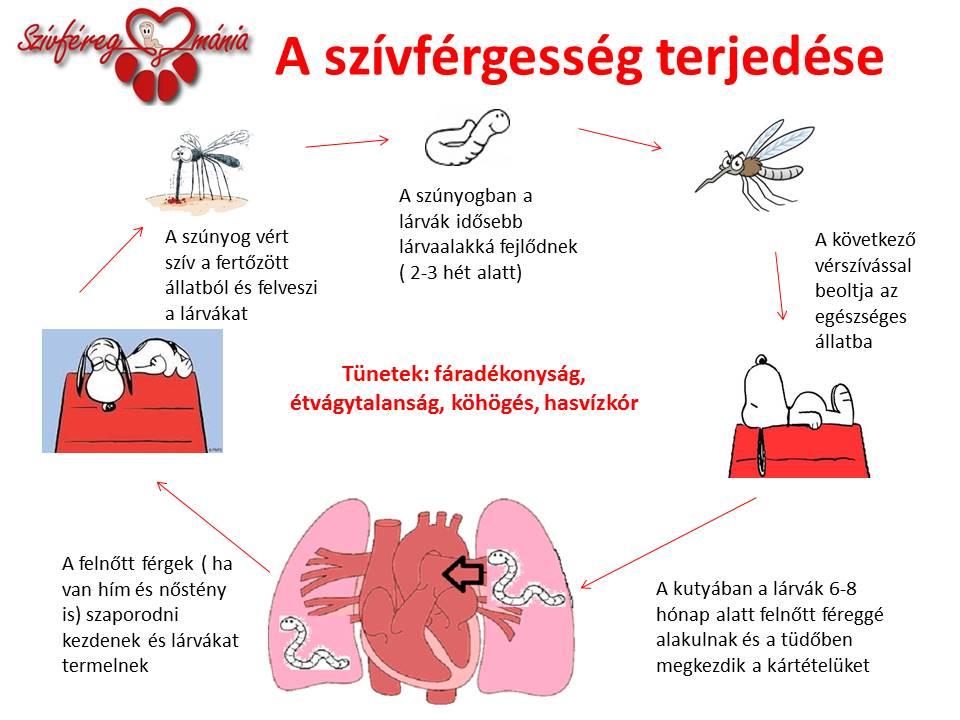 A szívférgesség terjedése