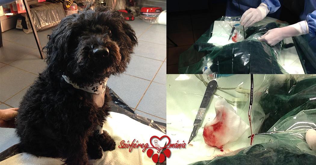 Rozi, a puli esete – Katéteres szívféreg eltávolítás